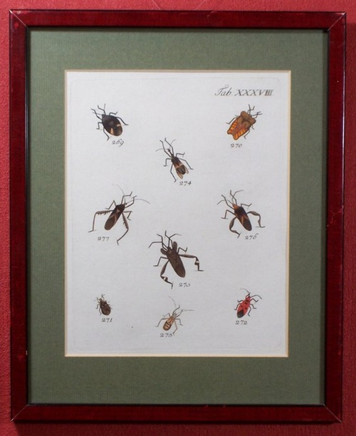- Altkolorierter Kupferstich mit Darstellung von 9 Käfern. Unter Passepartout in verglastem Holzrahmen.