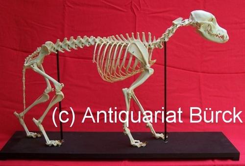 - Haushund. Canis familiaris L. [Canis domesticus]. Präpariertes Skelett eines Hundes auf Holzsockel.