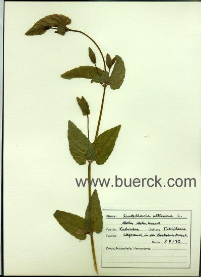 - Herbarium eines Apotheker-Praktikanten aus Nienburg/Weser, mit zahlreichen, getrockneten und in Plastik-Hüllen auf Papier  montierten Pflanzenteilen. Gesammelt in drei Ringordnern.
